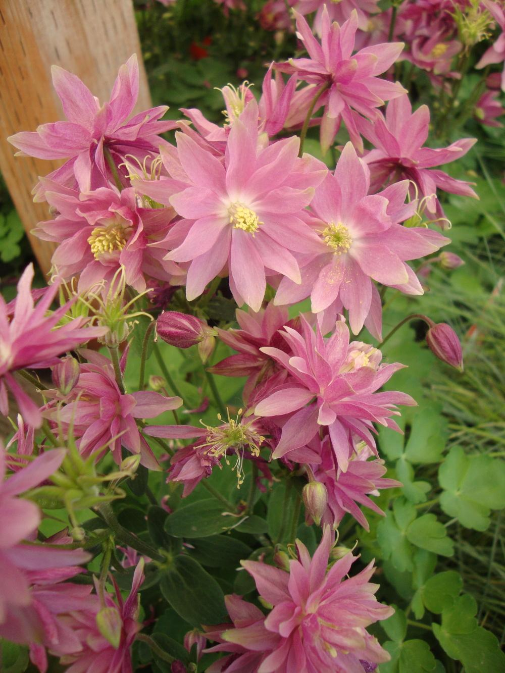 Photo of Columbine (Aquilegia vulgaris 'Clementine Salmon Rose') uploaded by Paul2032