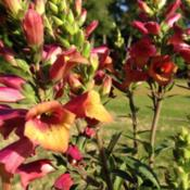 Location: Medina, TNDate: May 2014Foxglove 'Ruby Glow' is a hybrid with multiple flower s