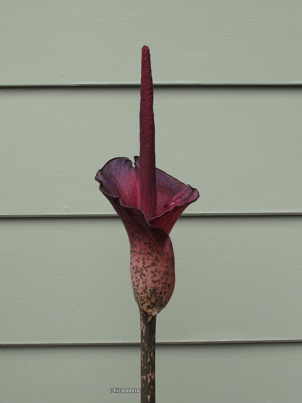 Photo of Voodoo Lily (Amorphophallus konjac) uploaded by Char