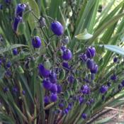 Location: Hamilton Square Perennial Garden, Historic City Cemetery, Sacramento CA.Date: 2014-05-23Electric steel blue fruit!