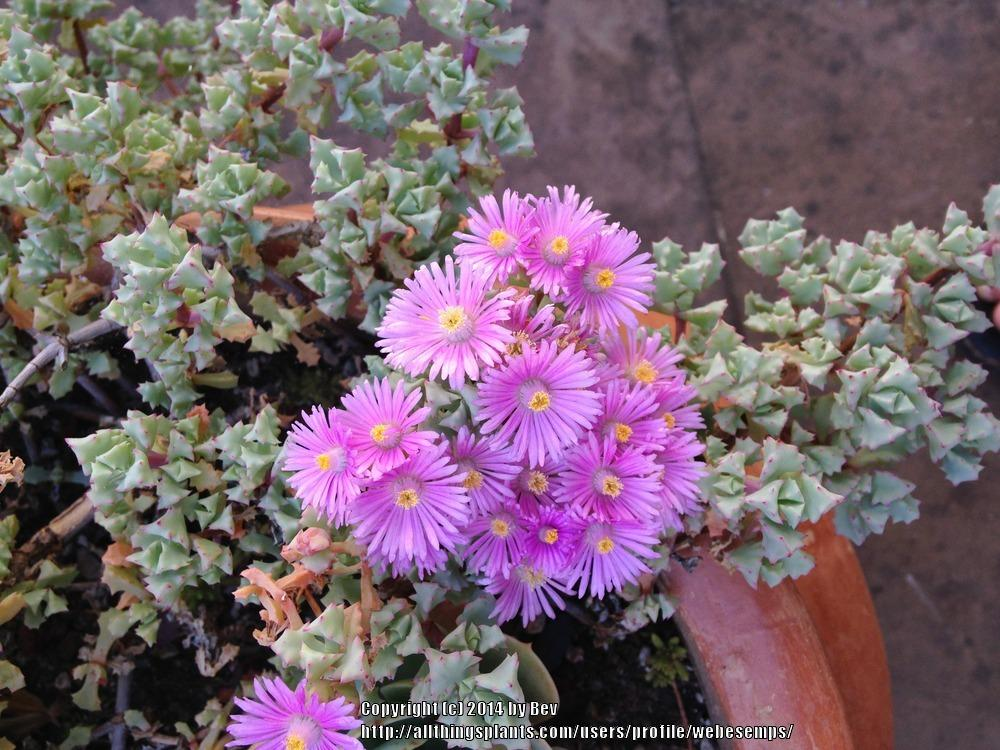 Photo of Pink Vygie (Lampranthus blandus) uploaded by webesemps
