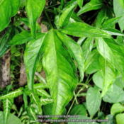 Location: Atlantic rainforest, Paraty, BrazilDate: 2014-01-05Leafshape changes  when the plant starts climbing..