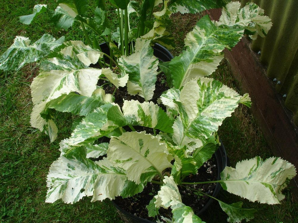 photo of the entire plant of variegated horseradish