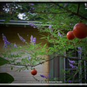 "Location: DeLand FloridaDate: 2014-05-25""I know;...the orange ball ornaments aren't cool to some, but the"
