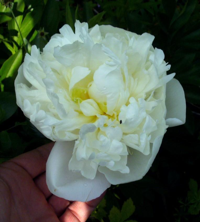 Photo of Chinese Peony (Paeonia lactiflora 'Primevere') uploaded by Heart2Heart