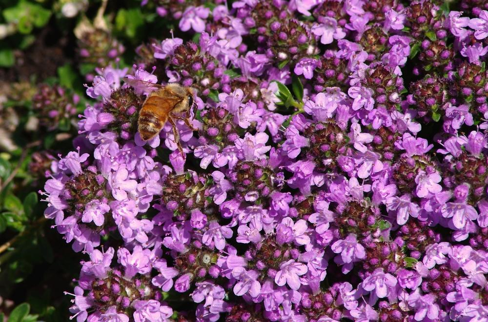 Photo of Creeping Thyme (Thymus serpyllum) uploaded by dirtdorphins