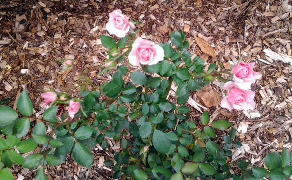 Photo of Rose (Rosa 'Bonica') uploaded by vic