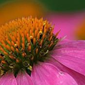 Location: Fort Worth, TXDate: May 2014Echinacea purpurea macros shot