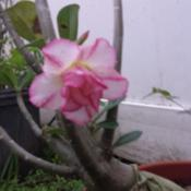 Location: South FloridaDate: 2013-11-26Double flower adenium (no ID).