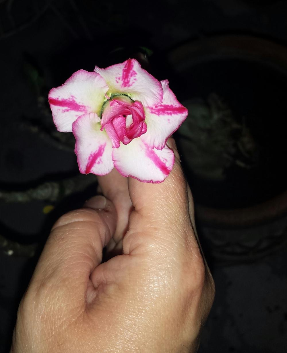 Photo of Desert Rose (Adenium obesum) uploaded by MamaIve12