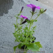 Location: My garden in Hebron, KYDate: 2014-05-18Wrong plant sent turned out to be Petunia Integrifolia