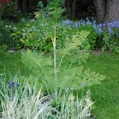 Location: My Northeastern Indiana Gardens - Zone 5bDate: 2014-05-25Second year specimen plant at 46 inches tall.