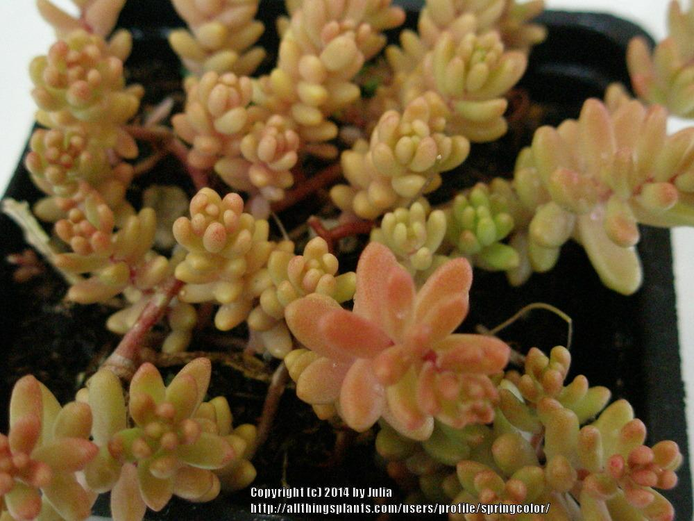 Photo of Sedums (Sedum) uploaded by springcolor
