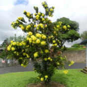 Location: Innisfail, North Queensland, AustraliaDate: 2014-05-21A dense flowering plant popular as a street tree.