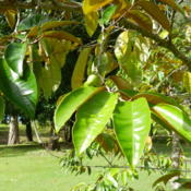 Location: Bramston Beach, North Queensland, AustraliaDate: 2014-05-17Delicious fruit and bronze under leaves.