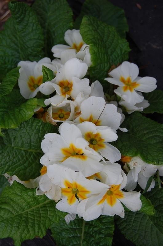 Photo of Primroses (Primula) uploaded by pixie62560