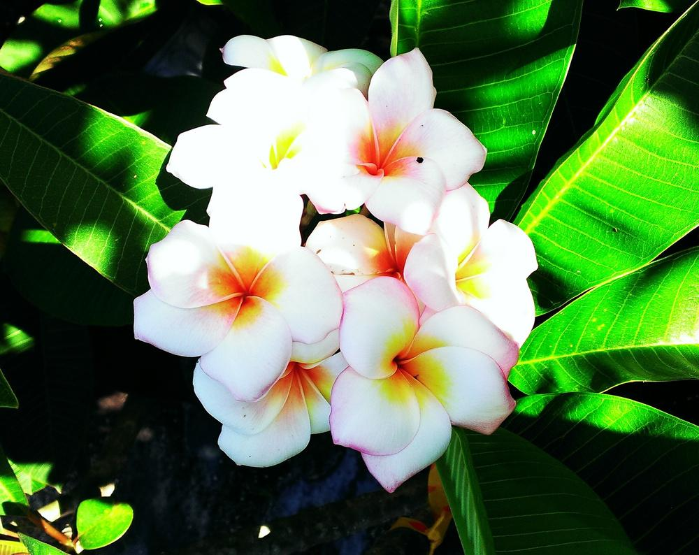 Plumerias plant care and collection of varieties garden add or edit informational text about this plant izmirmasajfo Choice Image