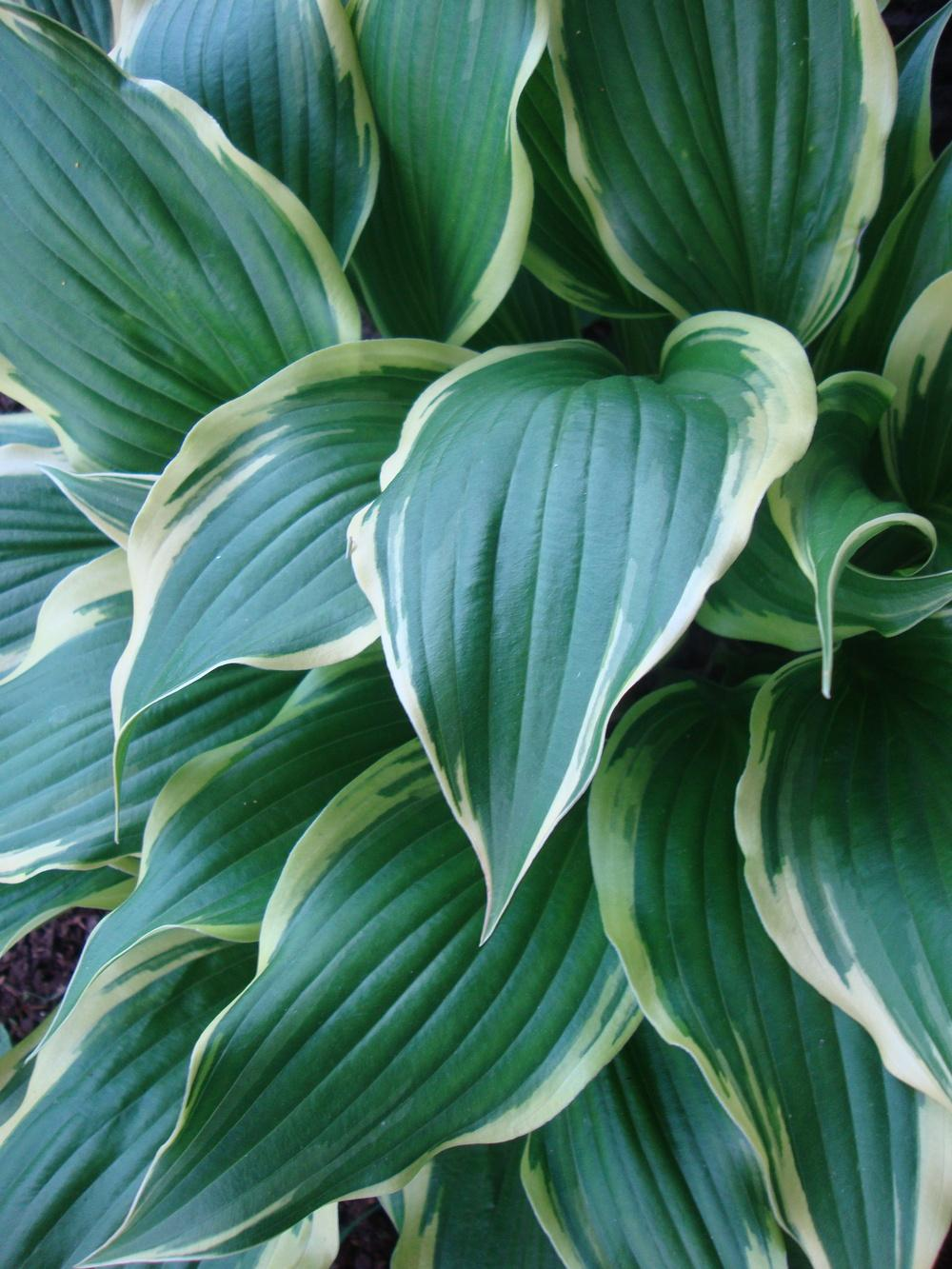 Photo of Hosta 'On the Border' uploaded by Paul2032