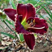 Location: Northern California Zone 9bDate: 2014-05-22Johnny Cash bloom.