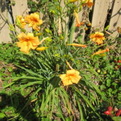 Photo of Daylily (Hemerocallis 'Tiny Pumpkin')