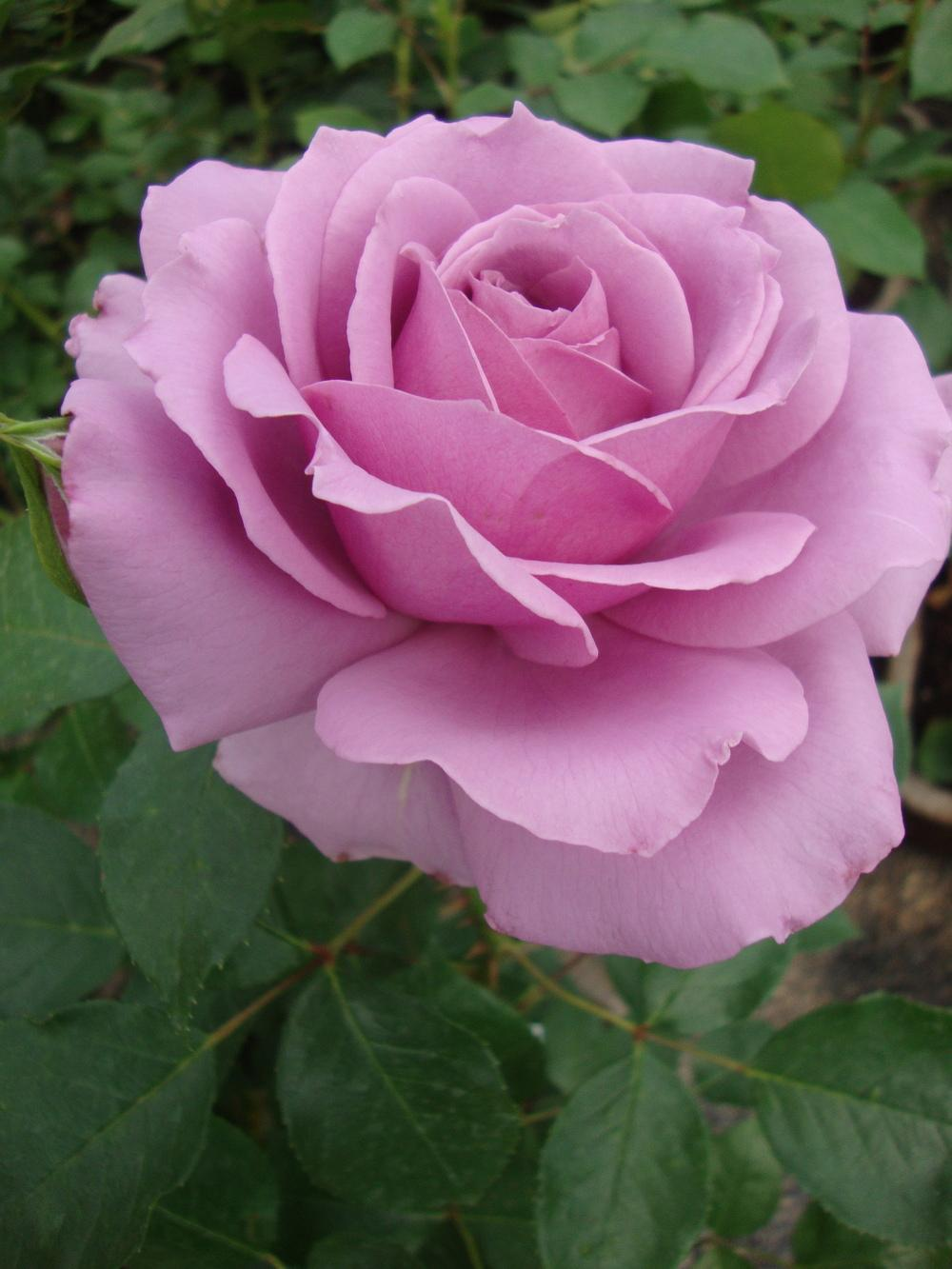 Photo of Rose (Rosa 'Love Song 2011') uploaded by Paul2032