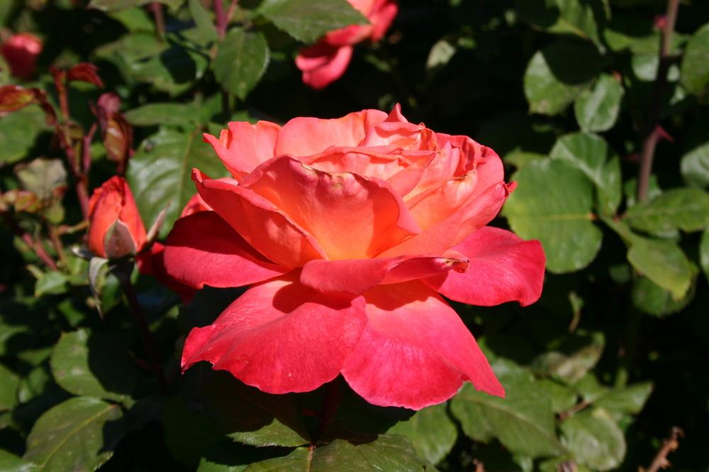 Photo Of The Bloom Of Rose Rosa 39 Christopher Columbus