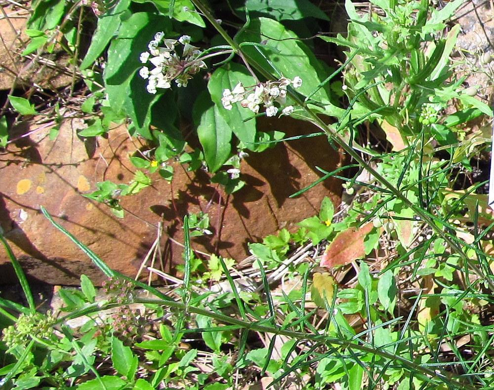 Photo of Whorled Milkweed (Asclepias verticillata) uploaded by jmorth