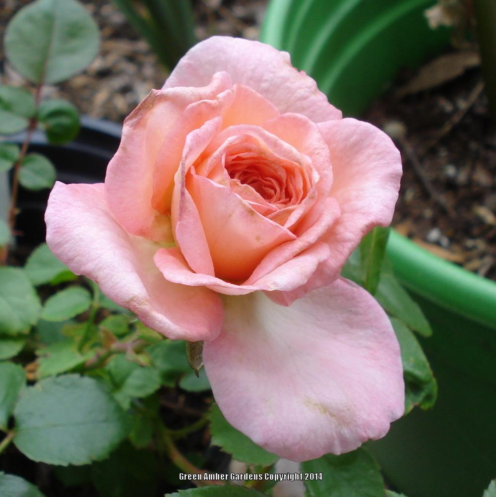 Photo of Rose (Rosa 'Savannah') uploaded by lovemyhouse