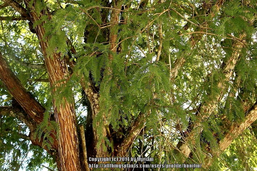 Photo of Bald Cypress (Taxodium distichum) uploaded by bonitin