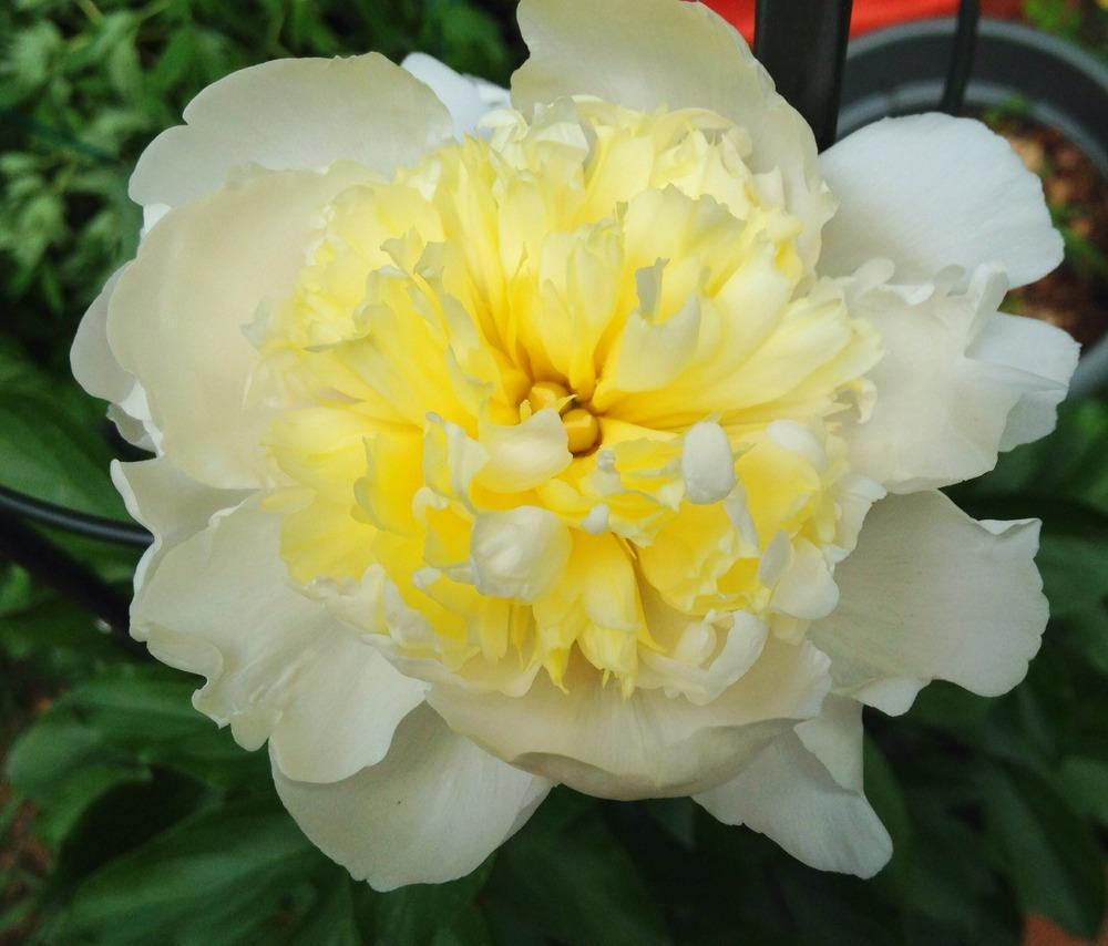 Photo of Peony (Paeonia lactiflora 'Laura Dessert') uploaded by bxncbx