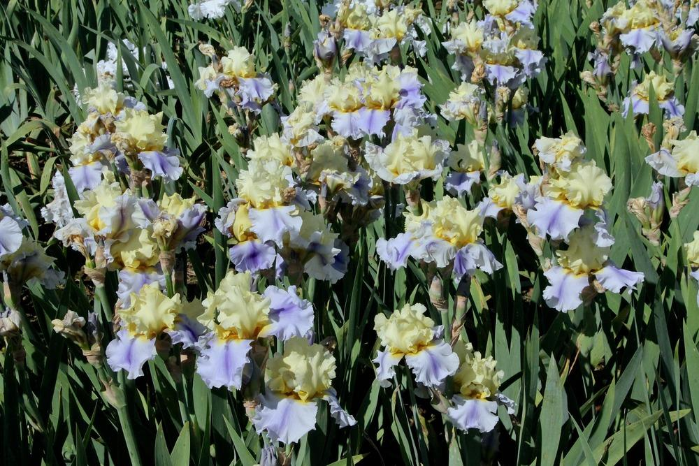 Photo of Tall Bearded Iris (Iris 'Easter Candy') uploaded by ARUBA1334