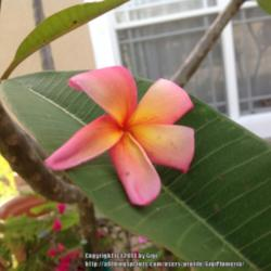 Thumb of 2014-06-01/GigiPlumeria/113c3a