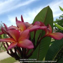 Thumb of 2014-06-01/GigiPlumeria/5a7431