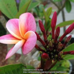 Thumb of 2014-06-01/GigiPlumeria/5c04bd