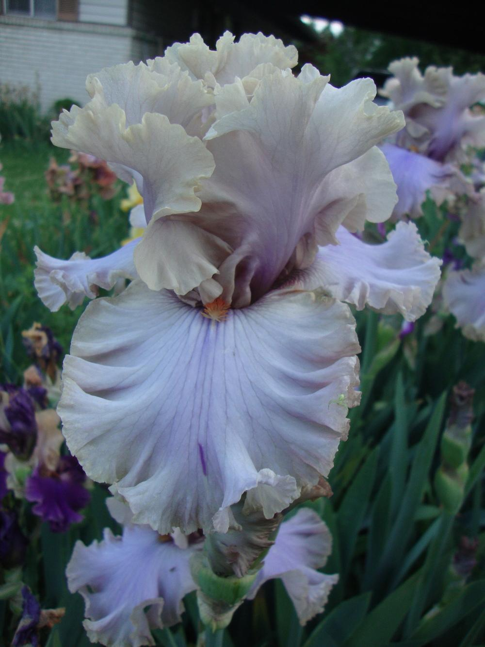 Photo of Tall Bearded Iris (Iris 'Stop Flirting') uploaded by Paul2032