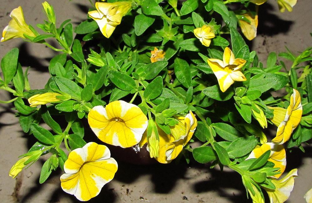 photo of the leaves of million bells calibrachoa superbells lemon slice posted by jmorth. Black Bedroom Furniture Sets. Home Design Ideas