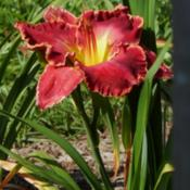 Location: homeDate: 2014-06-02The first bloom on a first year plant.  Don't be discouraged if i