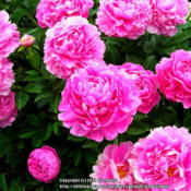 Location: Willamette Valley OregonDate: 2014-05-23Photo taken at Adelman Peony gardens