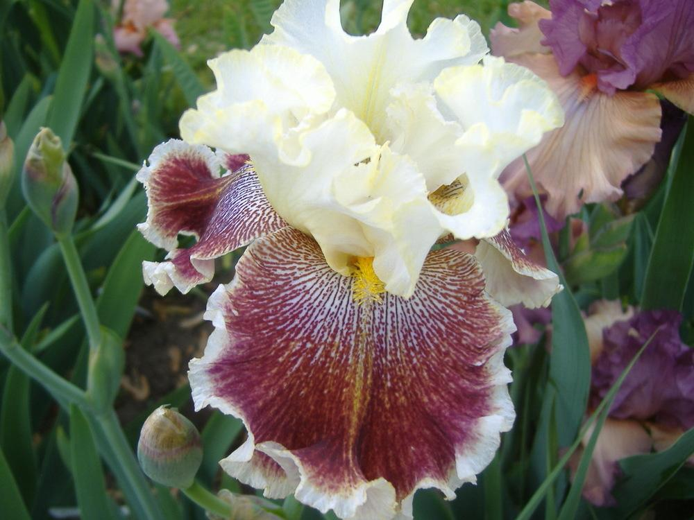 Photo of Tall Bearded Iris (Iris 'Wonders Never Cease') uploaded by tveguy3
