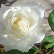Location: My garden in Southeast VirginiaDate: 2012-10-02My first rose in Virginia.