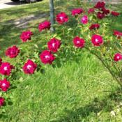 Location: My garden in Southeast VirginiaDate: 2014-06-02My neighbors rose vine.