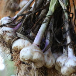 An All Things Plants Favorite: Garlic