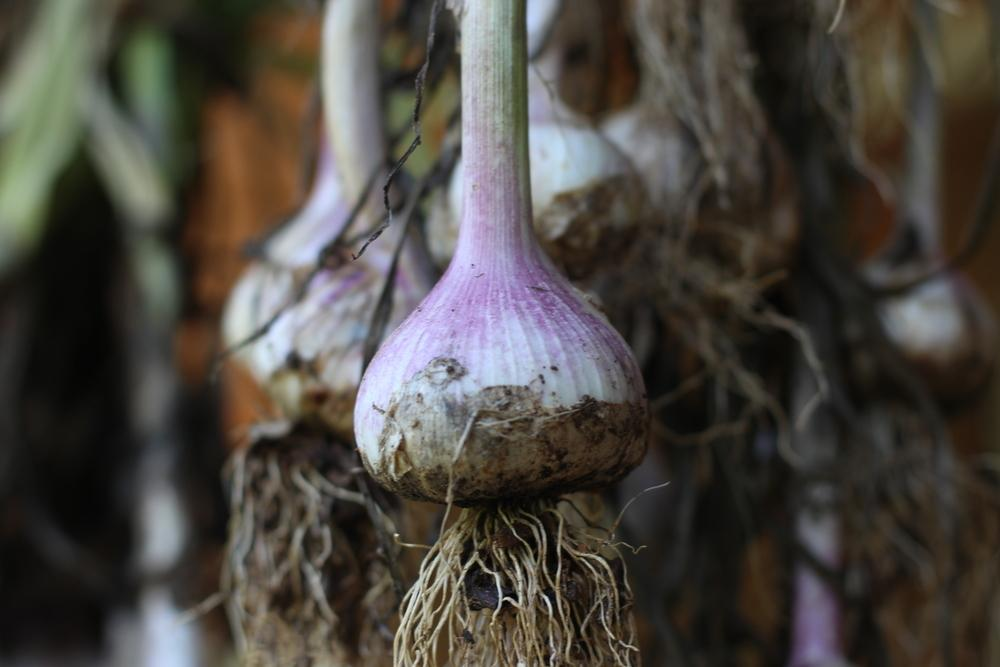 Photo of Garlic (Allium sativum 'Early Red Italian') uploaded by dave