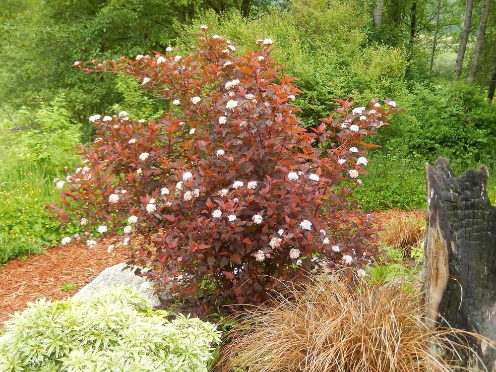 Photo of Eastern Ninebark (Physocarpus opulifolius Coppertina™) uploaded by Bonehead