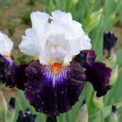 Location: Southeast IndianaDate: May 2014tall bearded iris 'Cosmic Celebration'