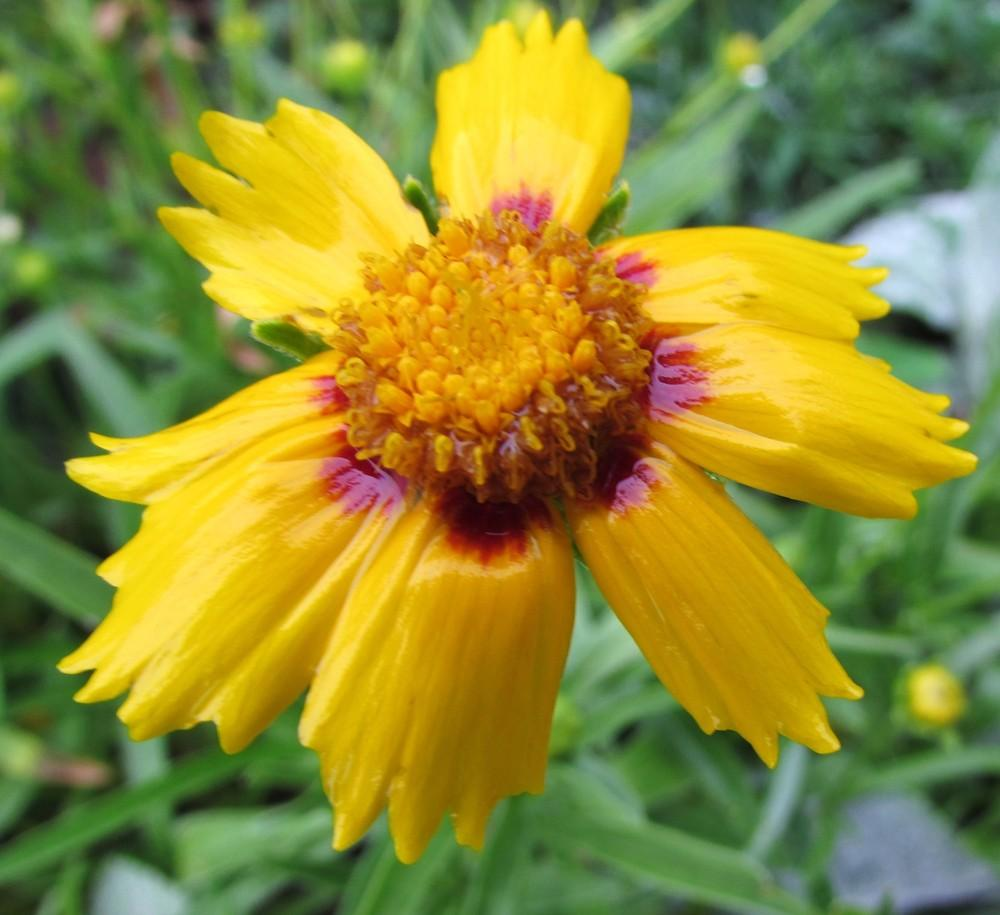 Photo of Lanceleaf Coreopsis (Coreopsis lanceolata 'Sonnenkind') uploaded by SongofJoy