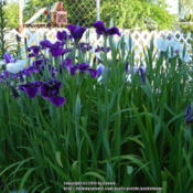 Location: Willamette Valley OregonDate: 2014-06-05Japanese irises (Iris ensata)