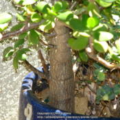 Location: At our garden - San Joaquin County, CADate: 2014-06-06Trunk of our matured Crassula ovata