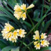 Triple Bloom of Yellow Solomone Clivia