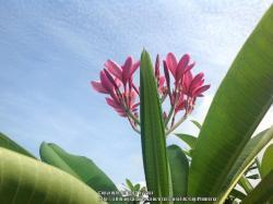 Thumb of 2014-06-07/GigiPlumeria/a53e62